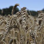 Champ de blé - Tréguidel